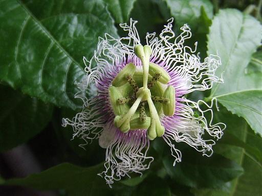 Klicken Sie auf die Grafik für eine größere Ansicht  Name:800px-Passiflora_edulis_forma_edulis4.jpg Hits:26 Größe:88,8 KB ID:1250