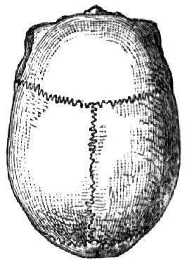 Klicken Sie auf die Grafik für eine größere Ansicht  Name:Dolichocephalie.jpg Hits:38 Größe:26,6 KB ID:1603